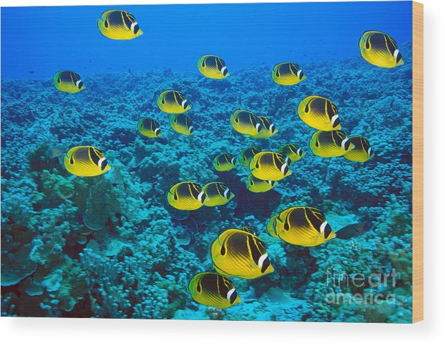 Animal Art Wood Print featuring the photograph Raccoon Butterflyfish by Dave Fleetham - Printscapes