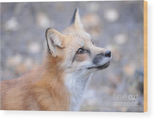 Red Tailed Fox Wood Print featuring the photograph Red Tailed Fox by Dennis Hammer