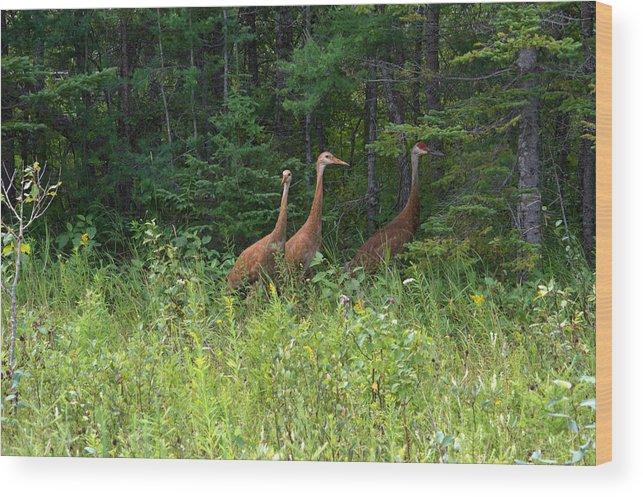 Seney National Wildlife Refuge Wood Print featuring the photograph Trio by Linda Kerkau