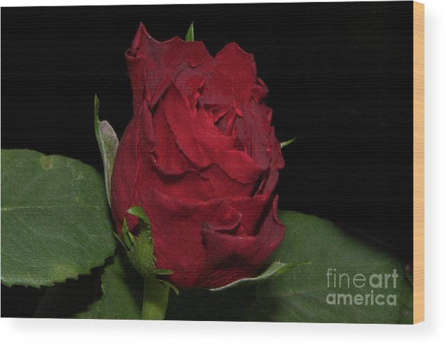 Flowers Wood Print featuring the photograph Red Rose by Elvira Ladocki