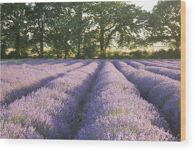 Lavender Wood Print featuring the photograph Lavender Fields by Ian Middleton