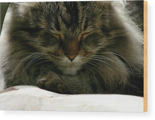 Maine Coon Wood Print featuring the photograph Maine Coon Cat by Michael Munster