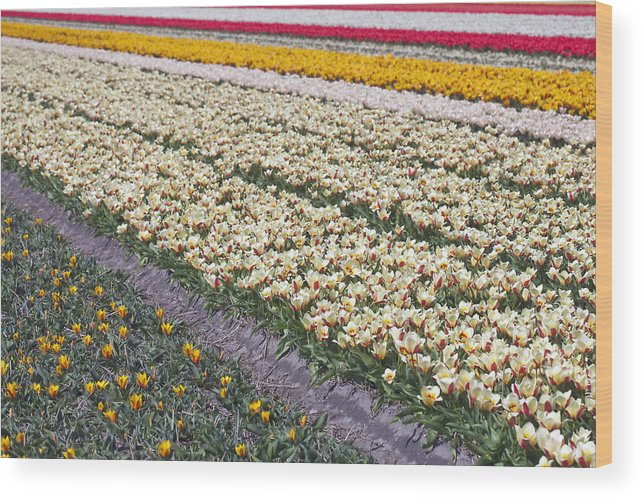 Agriculture Wood Print featuring the photograph Tulip Fields by Andre Goncalves
