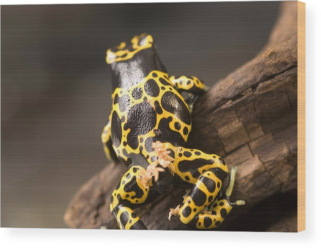 Nobody Wood Print featuring the photograph A Bumblebee Or Yellow-backed Poison by Joel Sartore