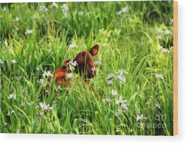 Calf Wood Print featuring the photograph A Calf's Perfect Haven by Cathy Beharriell