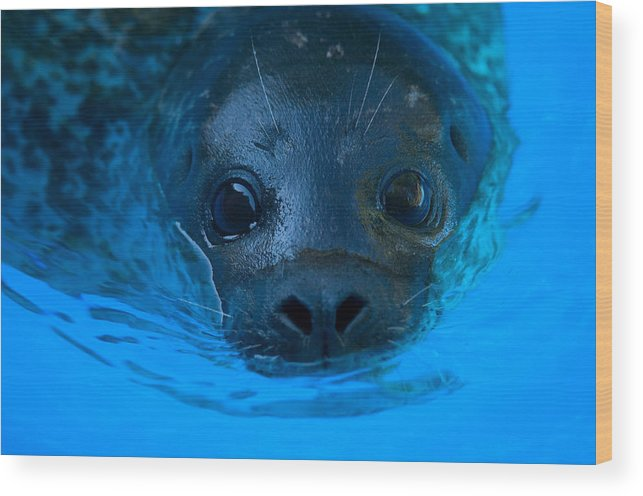 Photography Wood Print featuring the photograph A Harbor Seal At The Lincoln Childrens by Joel Sartore