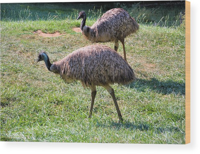 Birds Wood Print featuring the photograph A Pair Of Emu by Jan Amiss Photography