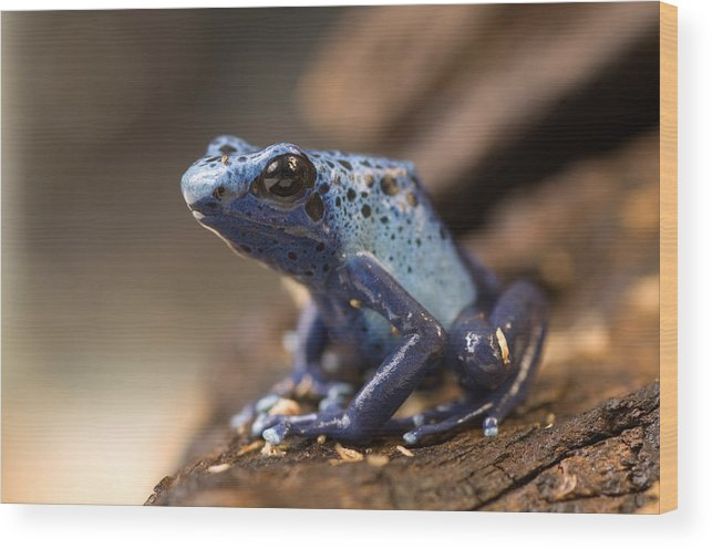 Nobody Wood Print featuring the photograph A Poison Dart Frog Dendrobates Azureus by Joel Sartore