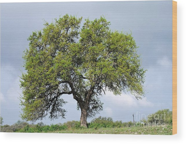 Tree Wood Print featuring the photograph A Tale Of One Tree by Gary Richards