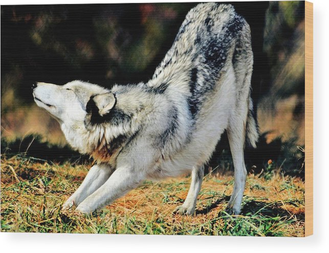 Wolf Wood Print featuring the photograph A Warm Stretch by Michelle McPhillips
