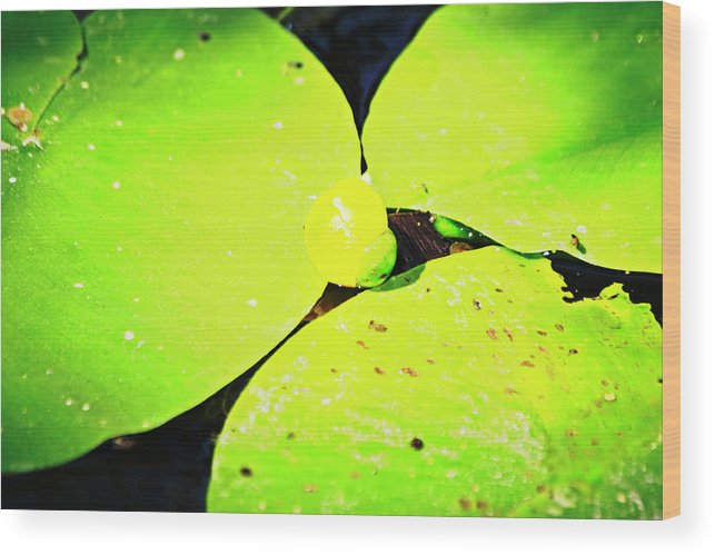 A Wood Print featuring the photograph A Yellow Bud Of Waterlily by Tinto Designs