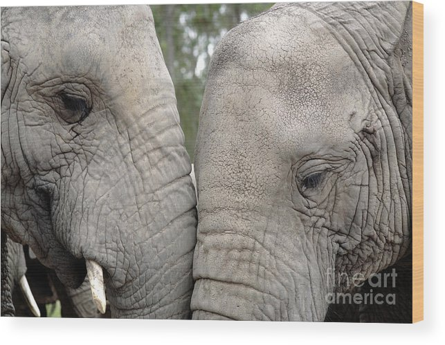 African Elephant Wood Print featuring the photograph African Elephants by Neil Overy