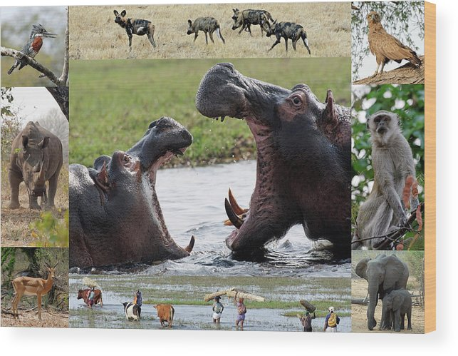 African Wood Print featuring the photograph African Wildlife Montage - Hippos by Robert Shard