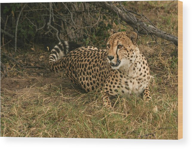 Karen Zuk Rosenblatt Art And Photography Wood Print featuring the photograph Alert Cheetah by Karen Zuk Rosenblatt