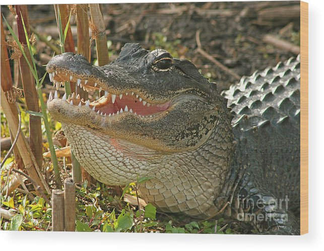 Alligator Wood Print featuring the photograph Alligator Showing Its Teeth by Max Allen