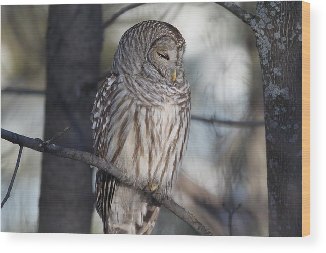 Barred Owl Wood Print featuring the photograph Almost At Rest by David Barker