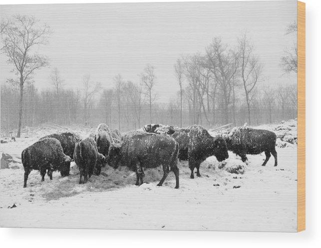 Buffalo Wood Print featuring the photograph American Buffalo #2 by Laszlo Gyorsok