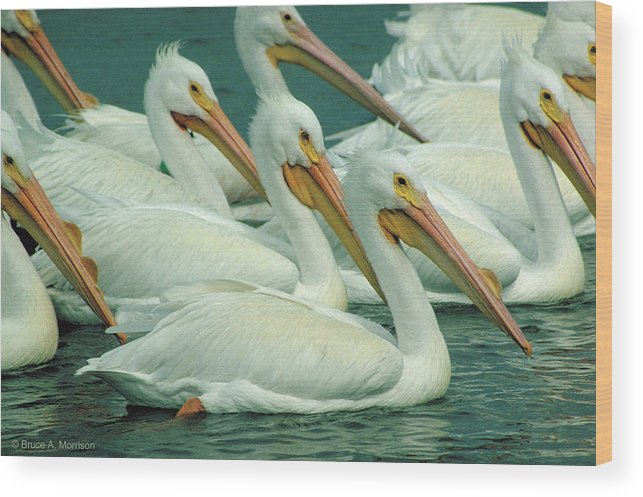 White Pelicans Wood Print featuring the photograph American White Pelicans by Bruce Morrison