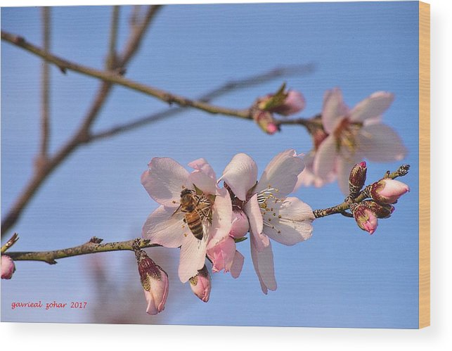 Wood Print featuring the photograph An Almond Tree Blooming by Zohar Gavrieal