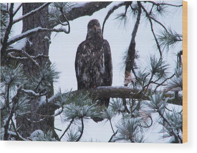 Bald Eagle Wood Print featuring the photograph An Eagle Gazing Through Snowfall by Jeff Swan