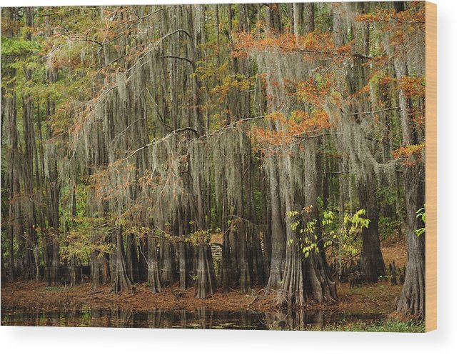 Cypress Trees Wood Print featuring the photograph Ancient Cypress Forest by Iris Greenwell