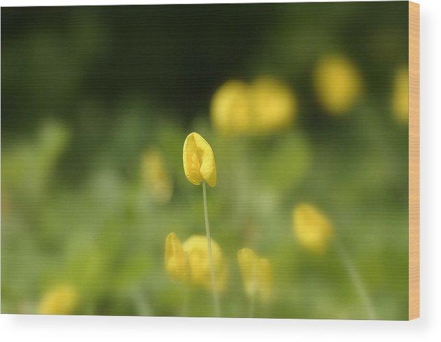 Photograph Wood Print featuring the photograph Arachis Pintoi - Peanut Flower by Mark Mah