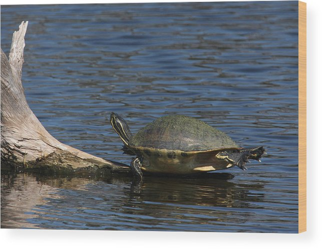Turtle Wood Print featuring the photograph Are We Swimming Yet by John Rowe