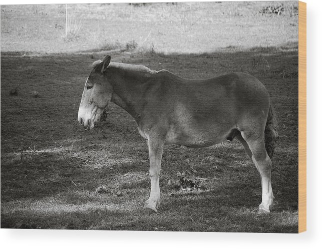 Ass Mule Horse Field Grass Animal Wood Print featuring the photograph Ass In Field by William Haney
