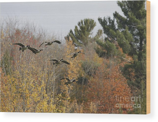Geese Wood Print featuring the photograph Autumn Geese by Deborah Benoit
