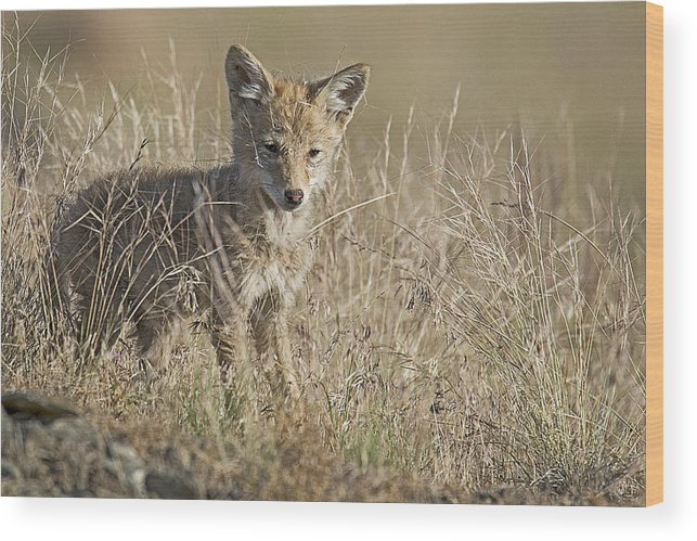 Coyotes Wood Print featuring the photograph Baby Cutie by Eric Nelson