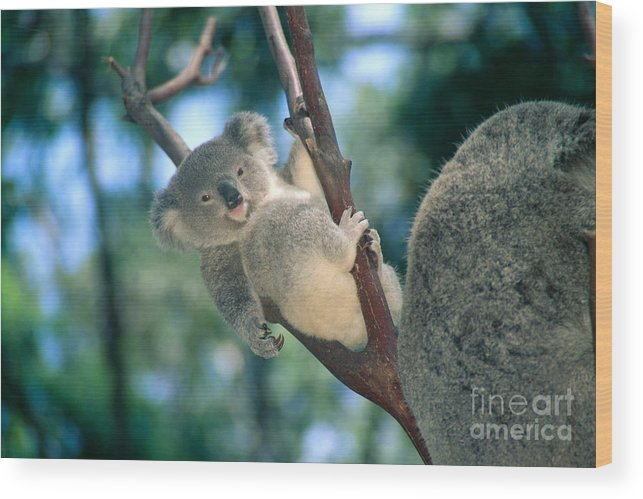 Animal Art Wood Print featuring the photograph Baby Koala Bear by Himani - Printscapes