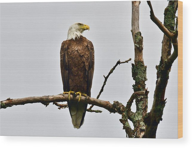 Oscoda Wood Print featuring the photograph Bald Eagle 5621 by Michael Peychich
