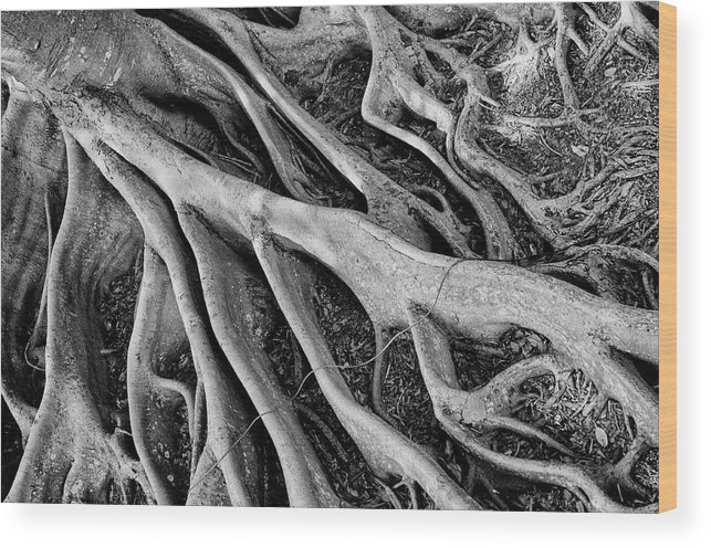 Banyan Tree Wood Print featuring the photograph Banyan Roots by Mick Burkey