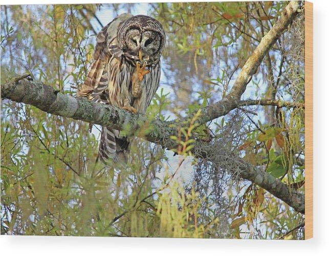 Owl Wood Print featuring the photograph Barred Owl by Deborah Benoit