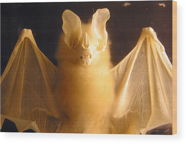 Jez C Self Wood Print featuring the photograph Bat Out Of Gel by Jez C Self