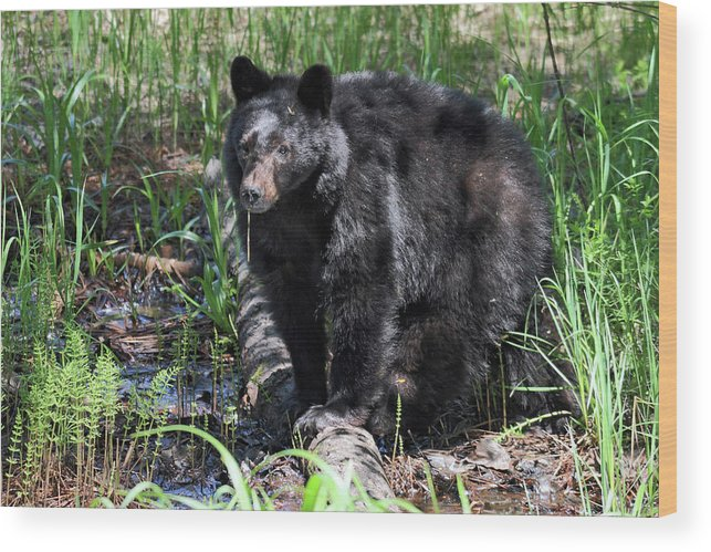 Bear Wood Print featuring the photograph Bear Cub In Whistler by Pierre Leclerc Photography