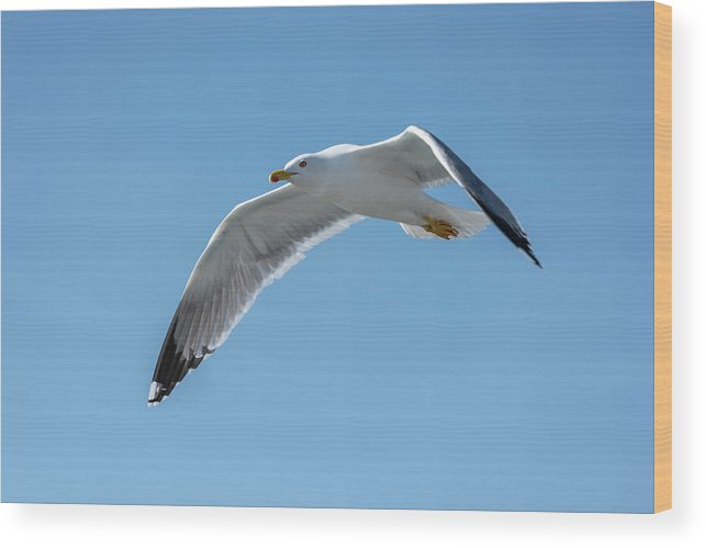 Seagull Wood Print featuring the photograph Beating Of Wings by Nicola Simeoni