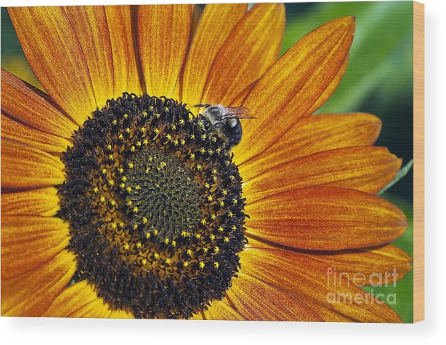 Helianthus Annuus Wood Print featuring the photograph Bee And Sunflower. by John Greim