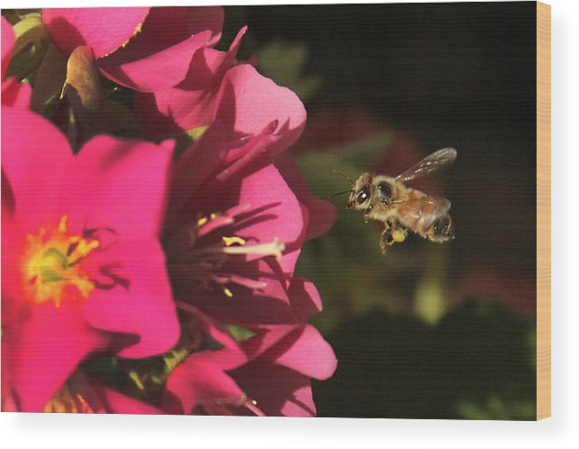 Flower Wood Print featuring the photograph Bee In Flight by Edelberto Cabrera
