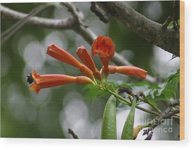 Flowers Wood Print featuring the photograph Bee In Trumpet by Janice Keener