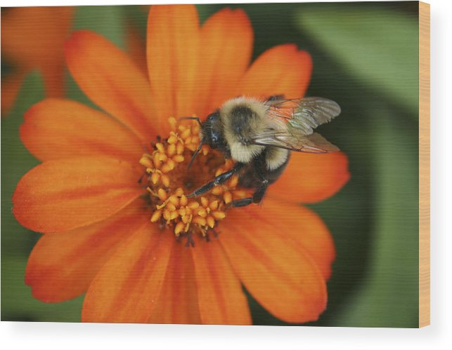 Bee Wood Print featuring the photograph Bee On Aster by Margie Wildblood