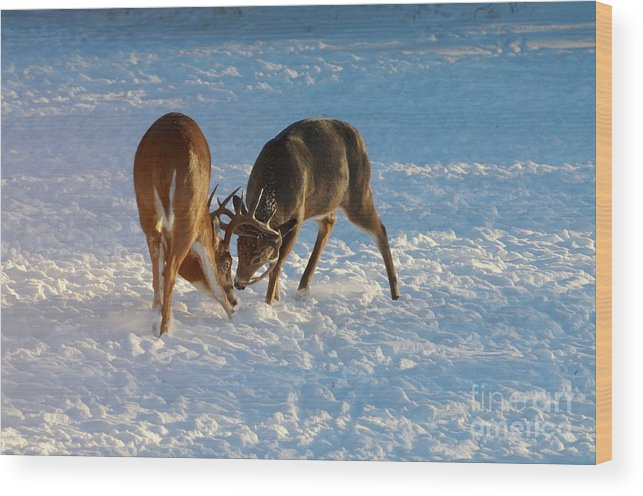 White Tailed Deer Wood Print featuring the photograph Being Pushy by Sandra Updyke
