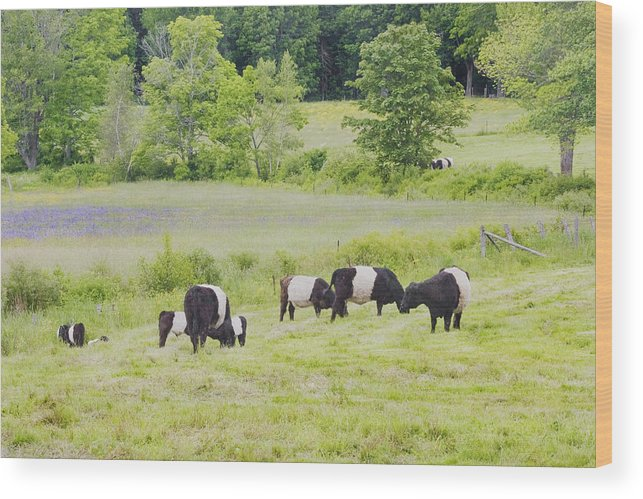 Cow Wood Print featuring the photograph Belted Galloway Cows Rockport Maine Poster Prints by Keith Webber Jr