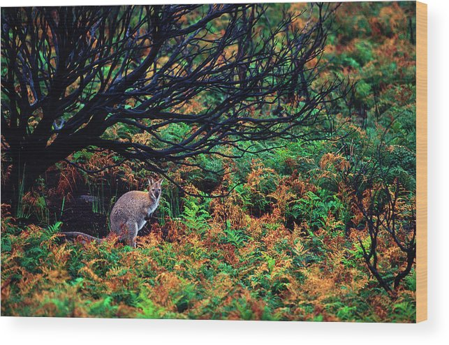 Wallaby Wood Print featuring the photograph Bennet's Wallaby by Sean Davey