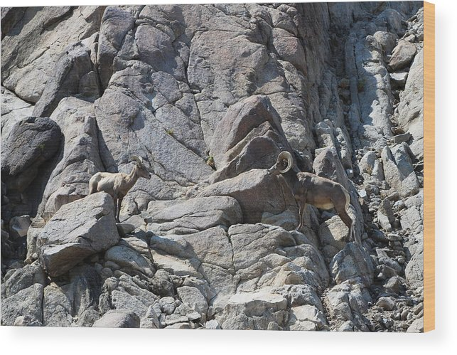 Bighorn Sheep Ram Wood Print featuring the photograph Bighorns Romantic Stare by Colleen Cornelius