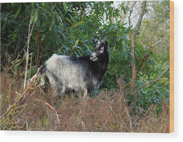 Goat Wood Print featuring the photograph Kerry Mountain Goat by Aidan Moran