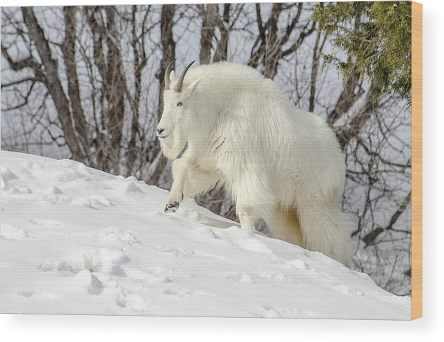 Rocky Mountain Goat Wood Print featuring the photograph Billy Goat On The Move by Yeates Photography