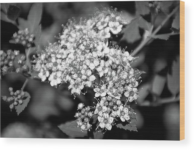 Flower Wood Print featuring the photograph Black And White Twinkle by Aimee L Maher ALM GALLERY