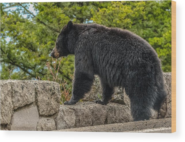 Black Bear Wood Print featuring the photograph Black Bear Boar Taking In The Sights by Yeates Photography