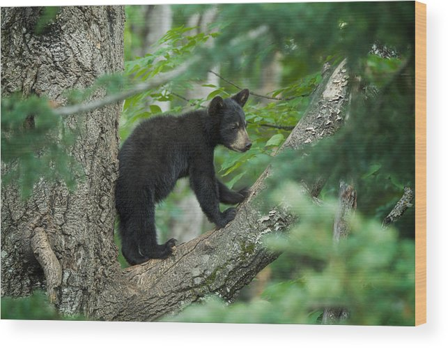 Black Bear Cub Wood Print featuring the photograph Black Bear Cub by Craig Voth